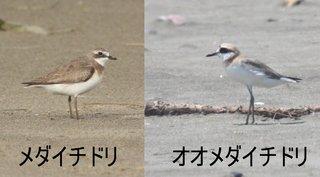 メダイオオメダイ.jpg
