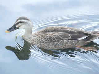 P1170484幼鳥肩羽小さい.JPG